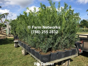 3-Gallon-Wholesale-Podocarpus-Price