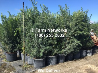 30-Gallon-Podocarpus-Hedges for Sale