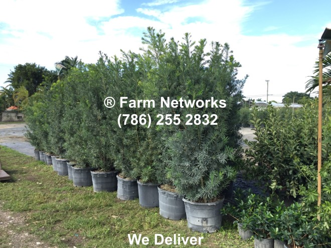 45-Gallon-Podocarpus-Hedges for Sale