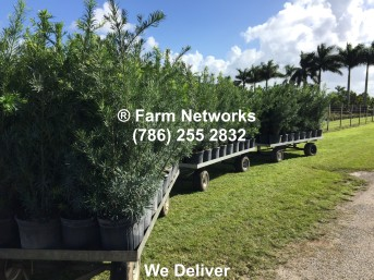 5-Gallon-Wholesale-Podocarpus-Price
