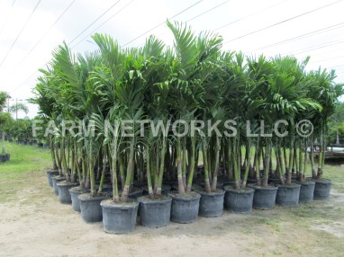 Adonidia Merrillii-Christmas Palm-15 Gallon