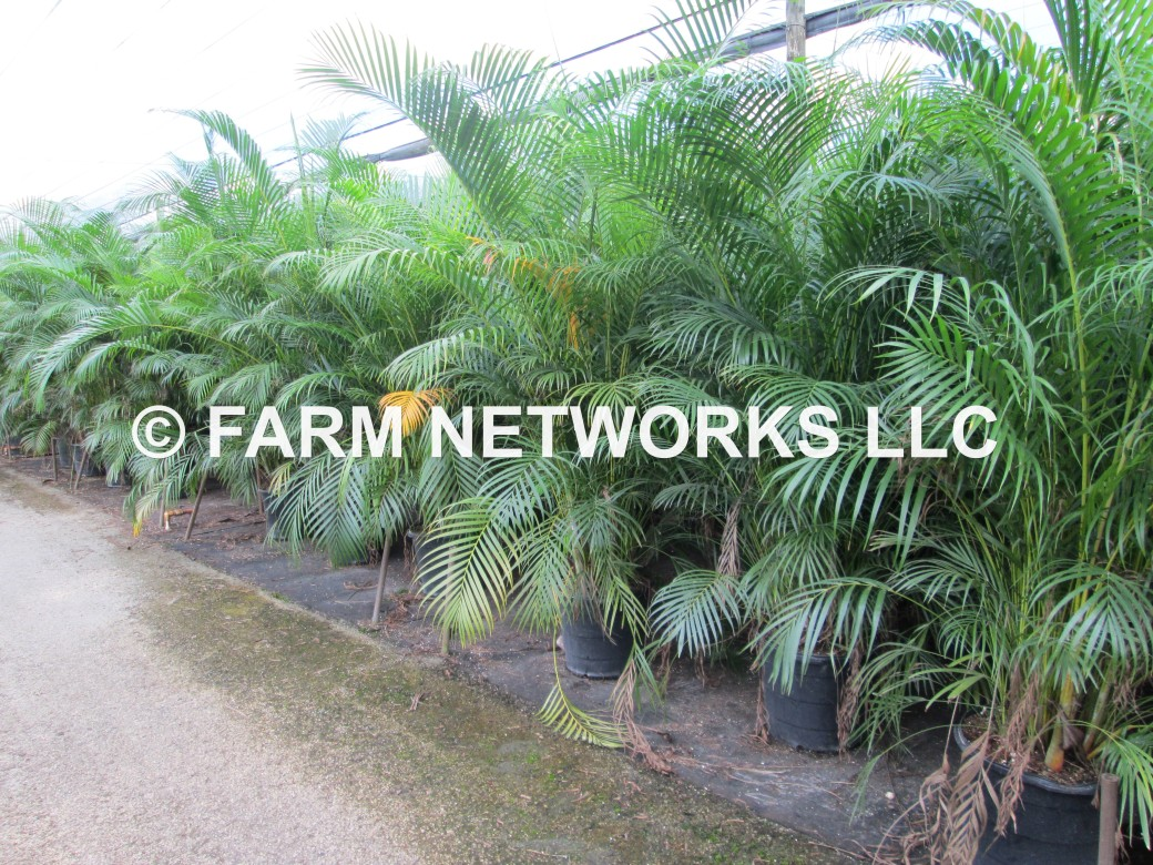 Areca-Palm-Jupiter-FL