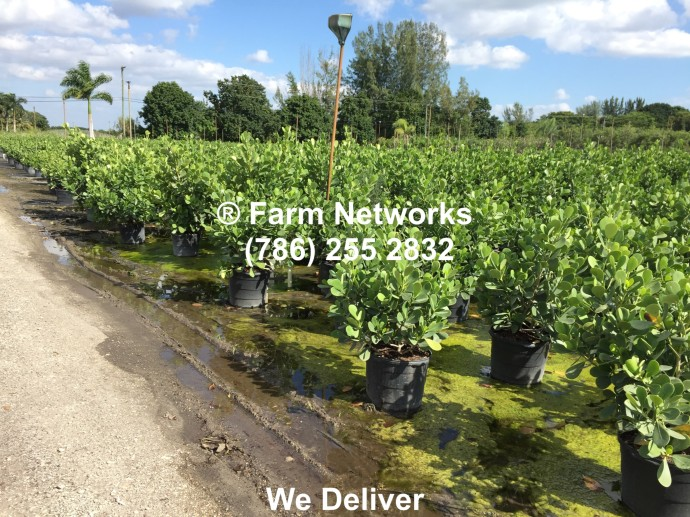 Clusia Hedge Plants Nursery