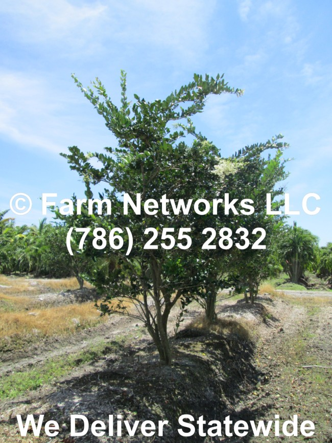 Field Grown Ligustrum 04