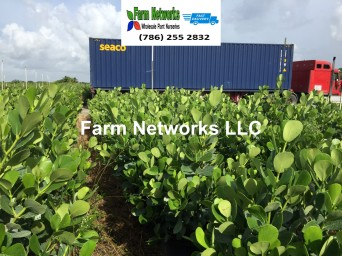Florida Clusia Hedge Farm