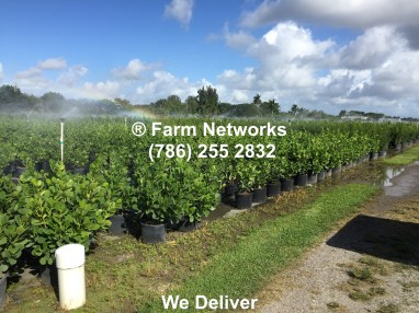 Florida Clusia Nursery Farm