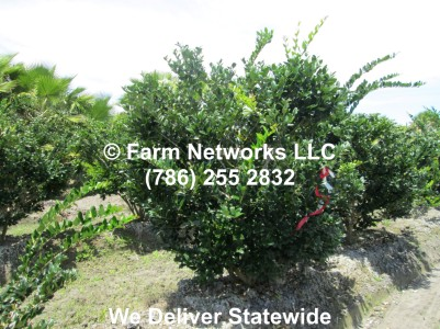 Florida Ligustrum Trees
