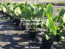 florida plant search,alocasia portodora