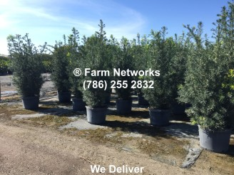 Podocarpus Hedge-25 Gallon