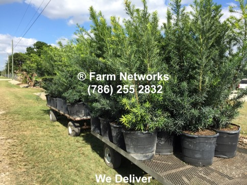 Podocarpus-Hedges for Sale