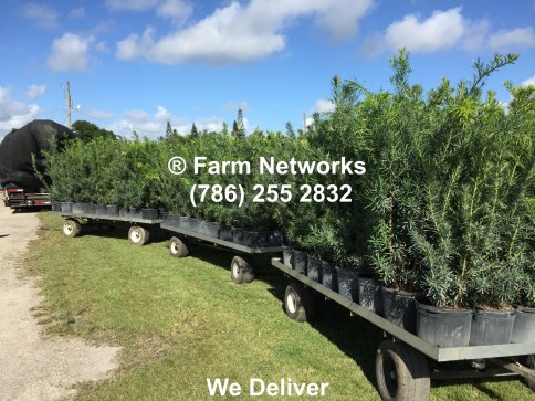Podocarpus Nursery South Florida