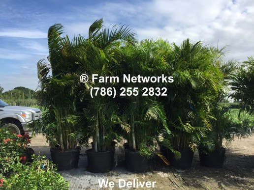 South Florida Areca Palms