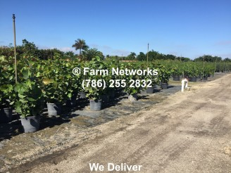 Wholesale Miami Clusia Small Leaf (2)